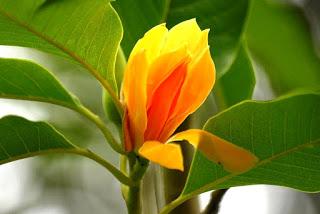 Jasa Taman Bandung Taman minimalis tanaman Cempaka Kuning