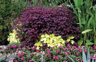 Jasa Taman Bandung Taman minimalis tanaman bunga Euphorbia Cotinifolia (Carrubean Copper Plant)