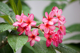 Jasa Taman Bandung Taman minimalis tanaman bunga Kamboja