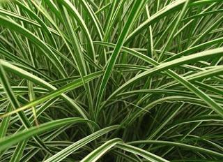 Jasa Taman Bandung Tanaman minimalis Rumput pita